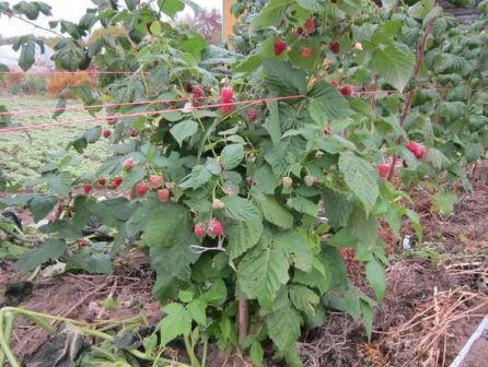 Малина дерево: уход и выращивание