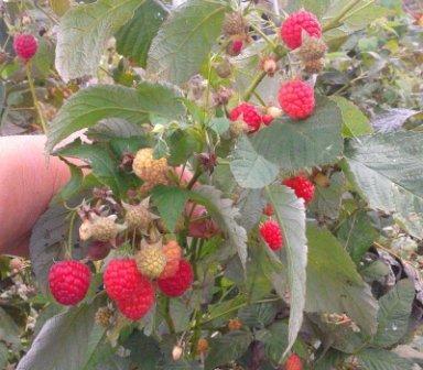 Сорт малины Бабье лето