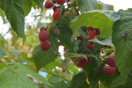 Бабье лето малина: описание