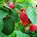 Посадка малины летом в траншею