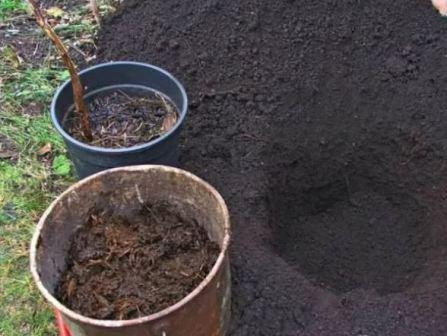 Малина: особенности выращивания