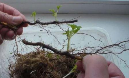 Размножение малины крапивкой