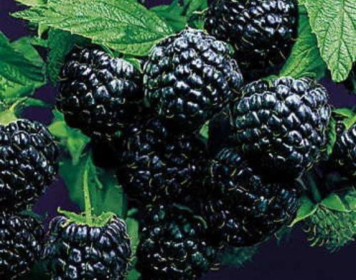Малина сорт Black Jewel