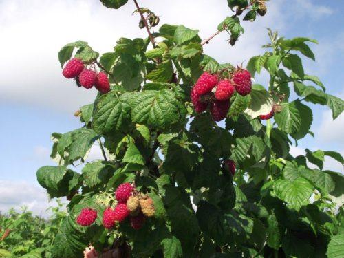 сорт малины лазаревская