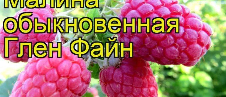 Сорт малины Глен Файн