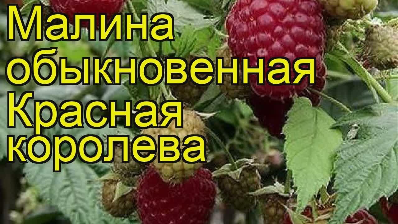 Бесшипный сорт малины Красная королева