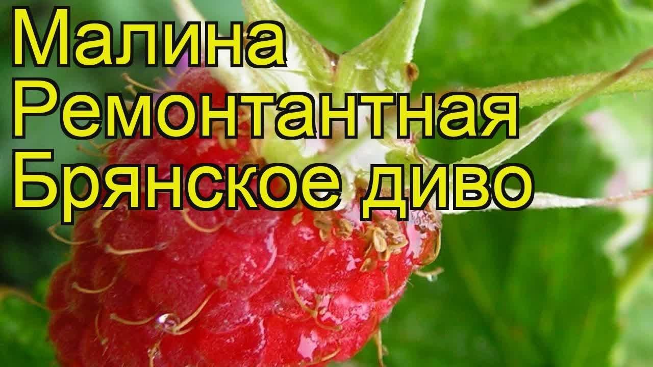 Сорт малины Брянское диво (Брянское чудо): фото, отзывы, описание, характеристики