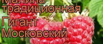 Малина Гигант Московский