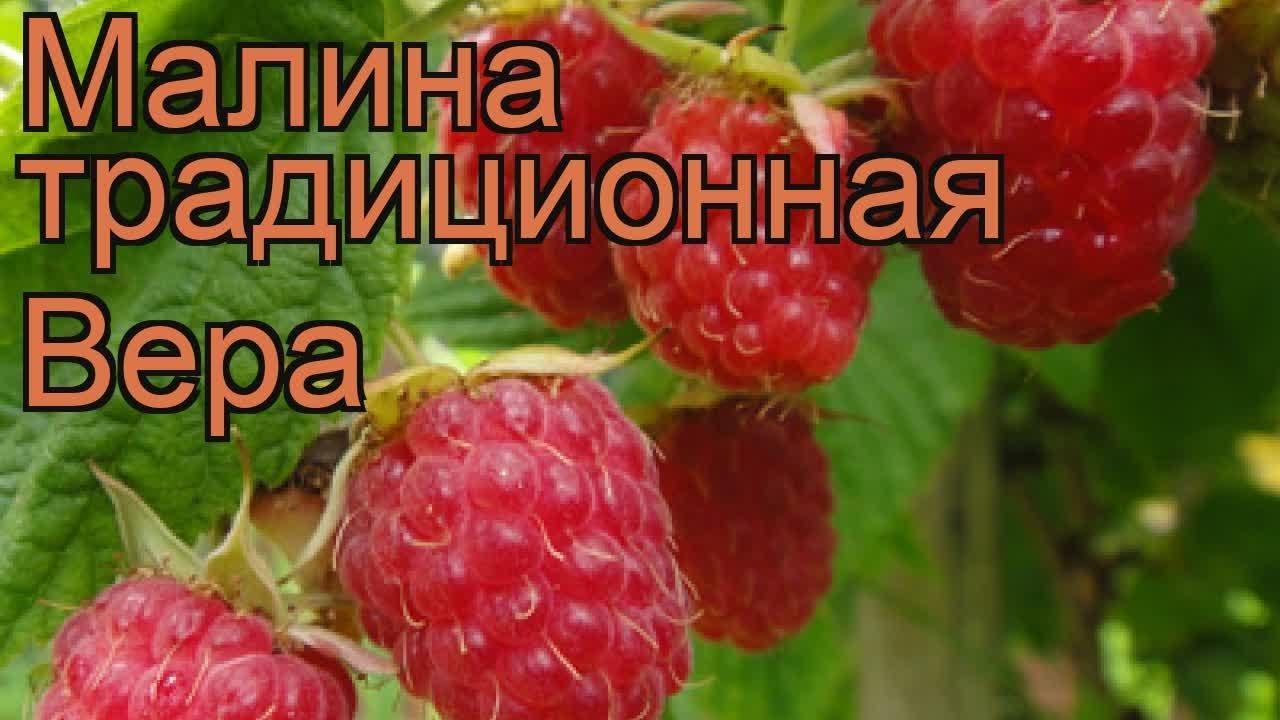 сорт малины вера