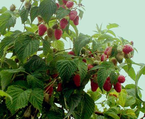 сорт малины краса россии