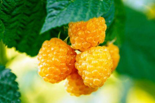 Желтоплодные сорта для Сибири