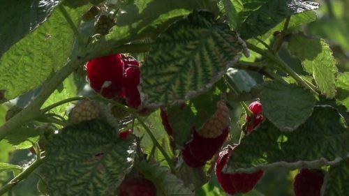 сорт малины новость миколайчика фото и описание сорта