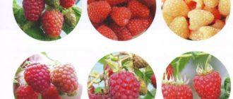 новейшие сорта малины