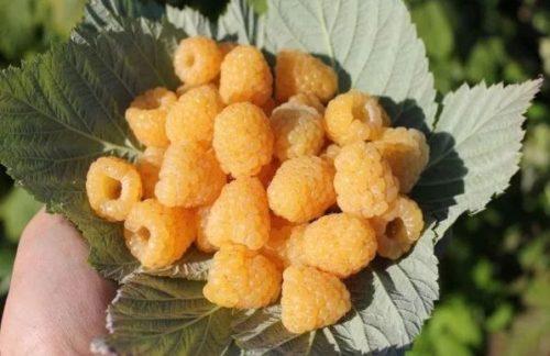 сорт малины утренняя роса описание