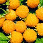 лучшие сорта желтой малины