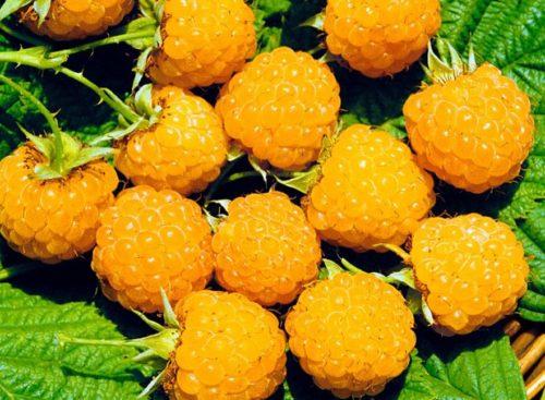 лучшие 9 сортов желтой малины