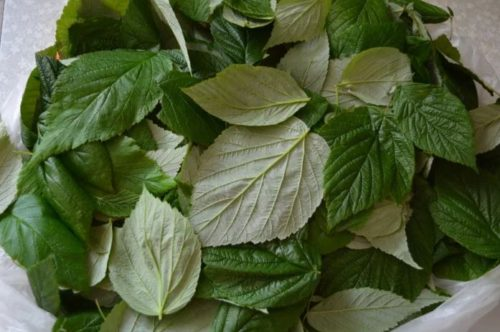 ферментация листьев малины