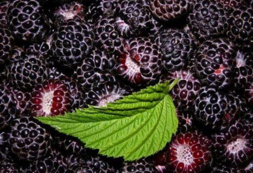 Выращивание и уход за черноплодной малиной Поворот