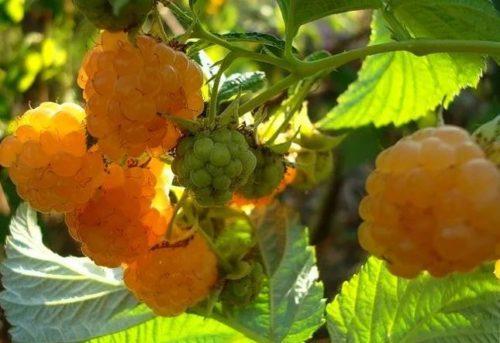 Особенности агротехники для малины Сластена желтая