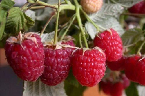 Описание среднеспелого сорта малины Киржач