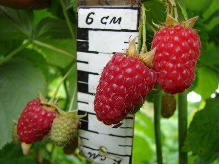 Особенности новейшей крупноплодной малины Генералиссимус