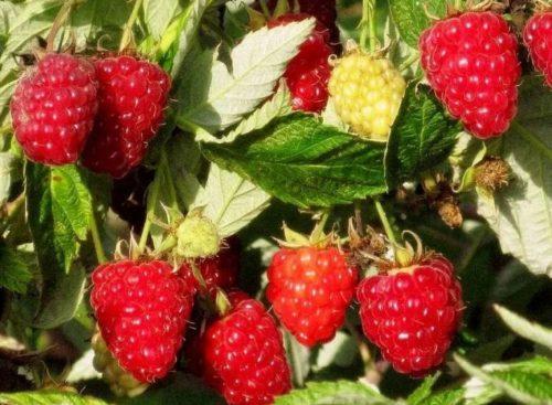 9 аспектов, говорящих о пользе малины