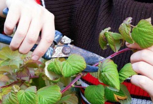 Высокоурожайная ремонтантная малина Вероника