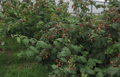 Что предпринять, чтобы не было разрастания кустов малины на участке