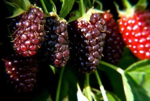 Американский гибрид Бойзенова ягода