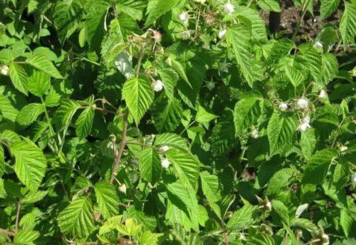 Почему малина буйно цветет, но не плодоносит